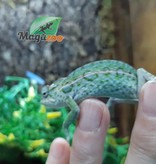 Magazoo Caméléon de Jeweled (Mâle) (Carpet chameleon)