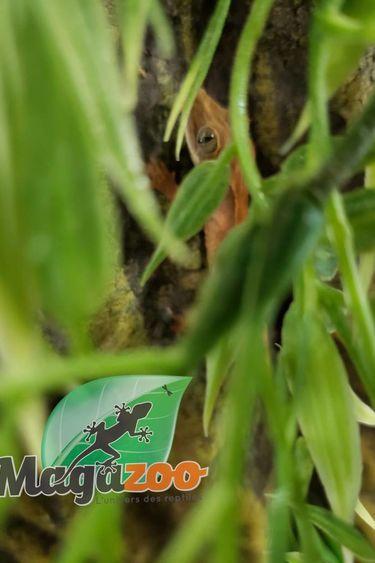 Magazoo Gecko à Crête Bicolor Bébé