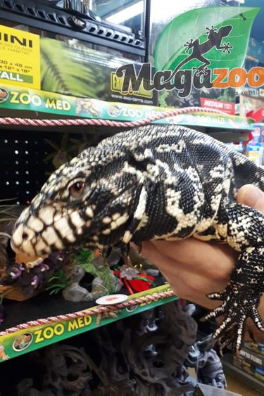 Magazoo Tégu Noir et Blanc Argentine femelle