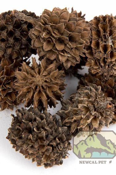 NewCal Pets Cônes Casuarina pq de 20 - Casuarina Cones