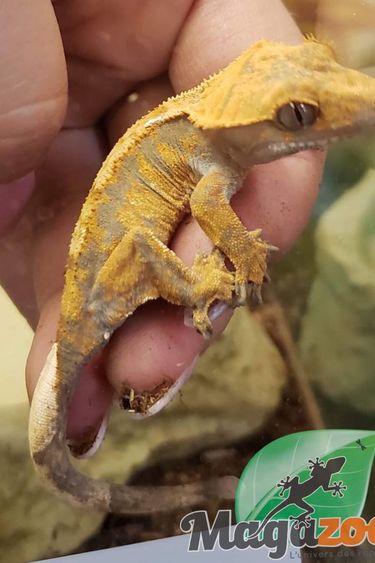 Magazoo Gecko à crête Orange Arlequin Tiger Juvénile