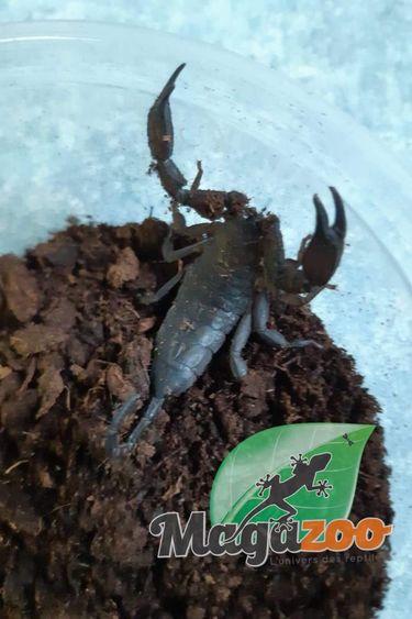 Magazoo Scorpion plat des cavernes/Hadogenes troglodytes