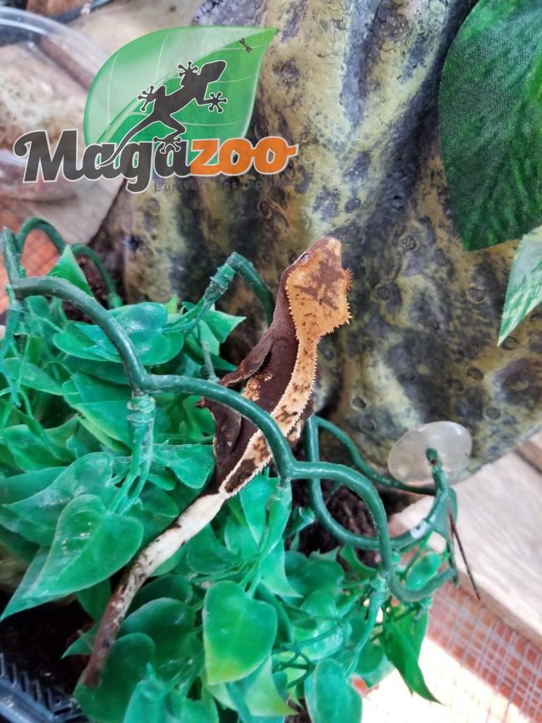 Magazoo Gecko à Crête Arlequin Full Pinstripe Juvénil