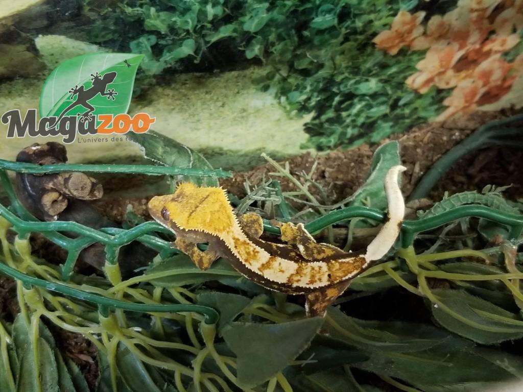 Magazoo Gecko à Crête Arlequin Full Pinstripe Tiger