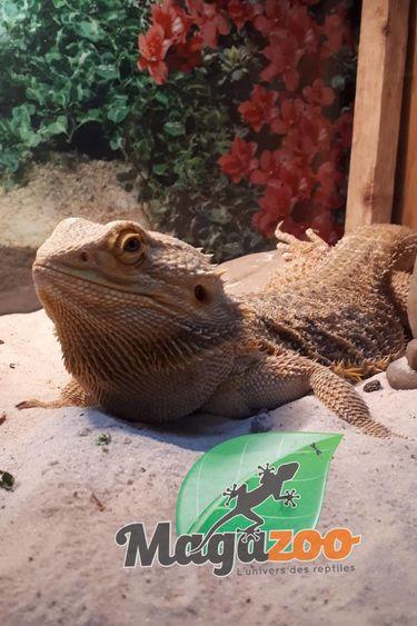 Magazoo Dragon Barbu Jaune Mâle Adulte