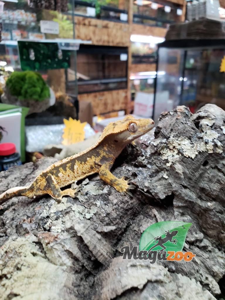 Gecko à Crête Pinstripe Super Arlequin Juvénile Mâle