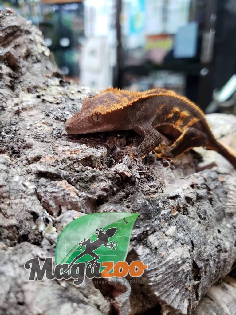 Gecko à Crête Full Pinstripe Arlequin Flame Juvénile Femelle