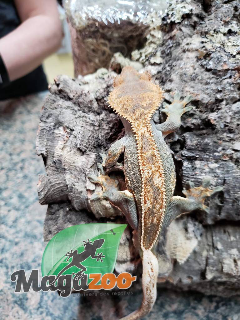 Gecko à Crête Full Pinstripe Flame Arlequin  Juvénile Mâle