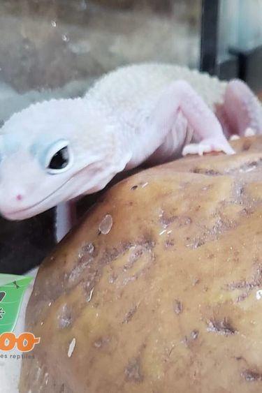 Magazoo Gecko Léopard Blizzard Éclipse Juvénile Mâle