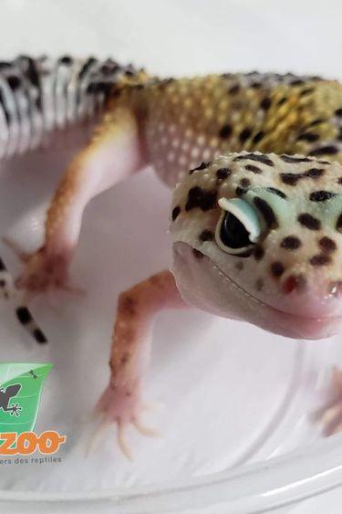 Magazoo Gecko Léopard Hight Yellow Juvénile Femelle