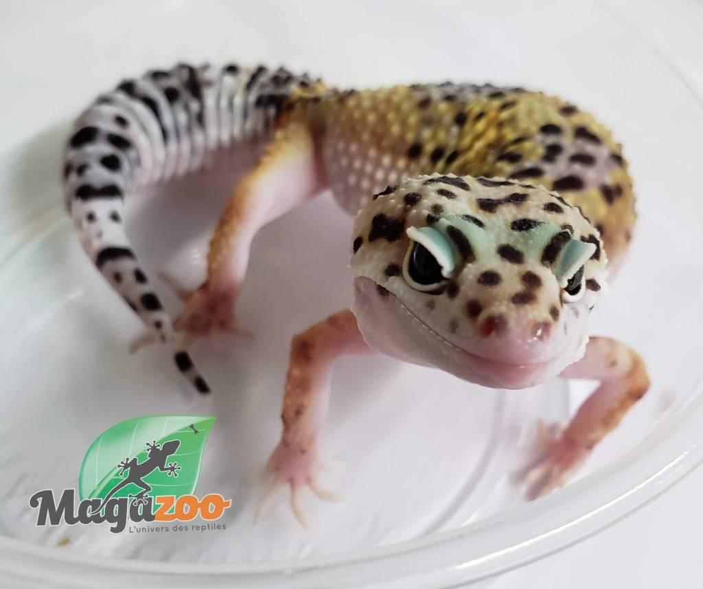 Magazoo Gecko Léopard Hight Yellow Lavender Femelle Adulte