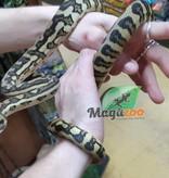 Magazoo Python Tapis Bredls x Jaguar Femelle (Bébé 2017)