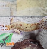 Magazoo Gecko Léopard Jungle Éclipse Juvénile Mâle