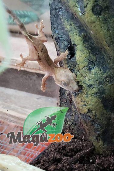 Magazoo Gecko à Crête Patternless Full Pinstripe Dalmatien Bébé