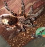 Magazoo Mygale chili cooper (Femelle)/Paraphysa scrofa