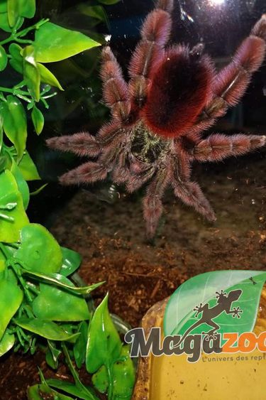 Magazoo Mygale à orteil rose antillaise (femelle)+terrarium/Caribena versicolor