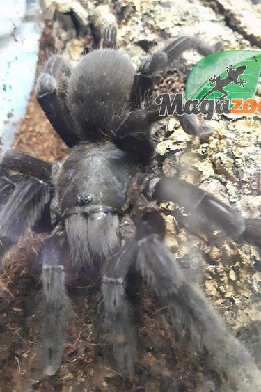 Magazoo Mygale thailandaise/Chilobrachys sp.