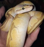 Magazoo Python Royal Enchi Pastel Butter Pinstripe Femelle