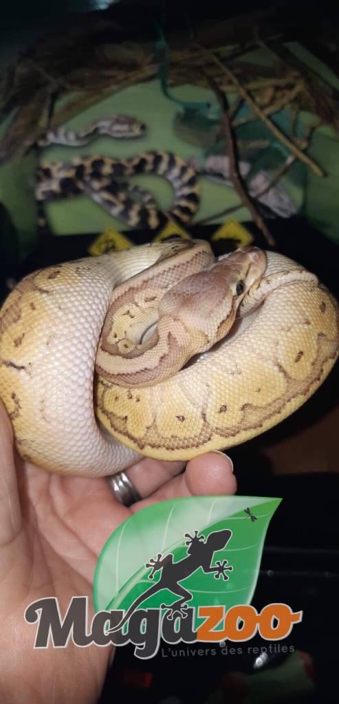 Python Royal Pastel Pinstripe Mâle