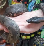Magazoo Boa Terrestre de Nouvelle-Guinée (Femelle)