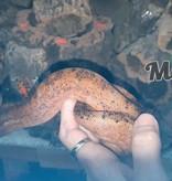 Magazoo Boa Constricteur Sonara Hypo Léopard Femelle