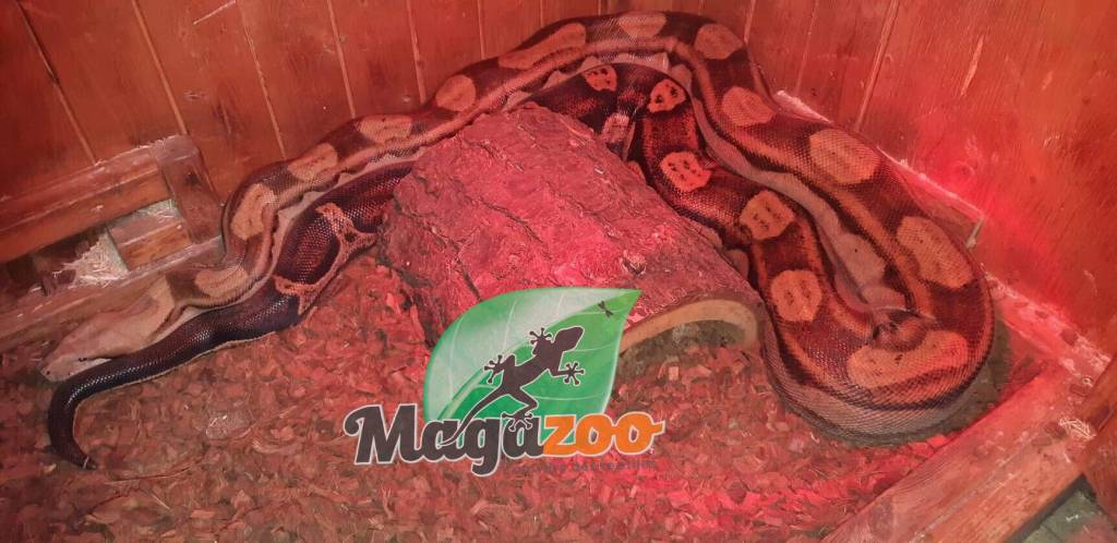 Magazoo Boa Constrictor Motley Colombien Femelle 8 pied
