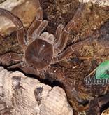Magazoo Mygale goliath + kit creature/Theraphosa stirmi