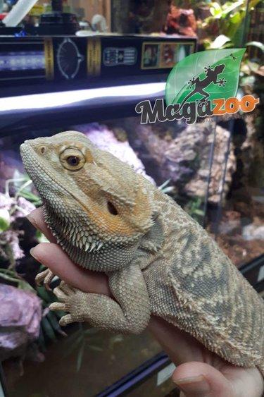 Magazoo Dragon Barbu Mâle Adulte
