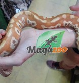 Magazoo Python Malais T+
