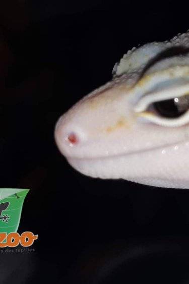 Magazoo Gecko Léopard Éclipse Enigma snake Eyes Mâle