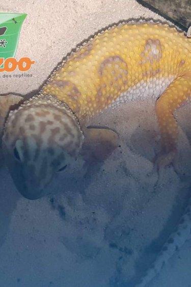 Magazoo Gecko Léopard Tangerine Tremper Albino Femelle
