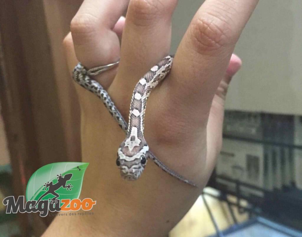 Magazoo Serpent des Blés Anery Het Scaleless