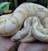 Magazoo Python Royal Vanilla Screan het Hypo Mâle