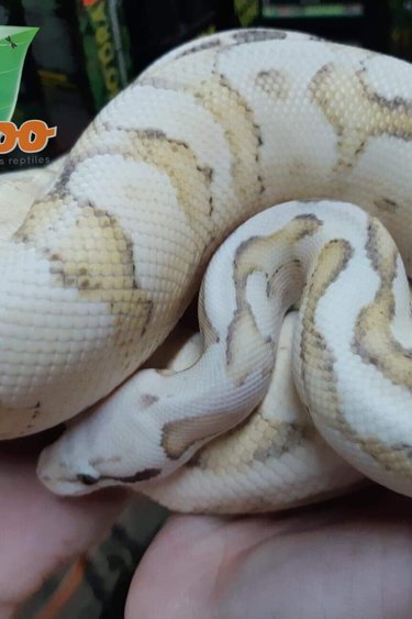 Magazoo Python Royal Vanilla Scream het Hypo Mâle