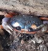Magazoo Crabe Halloween bébé