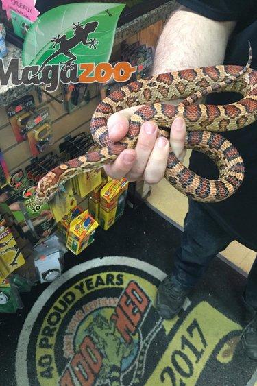 Magazoo Serpent des Blés Het Scaleless Okeetee Femelle