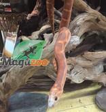 Magazoo Serpent des Blés Scaleless Okeetee femelle