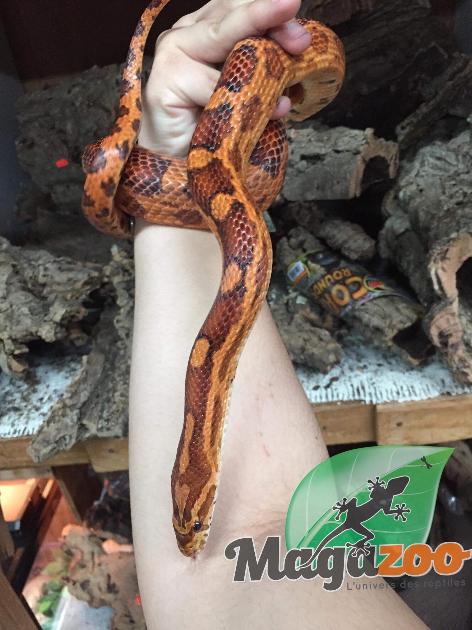 Serpent des Blés Het Scaleless okeetee Male adulte