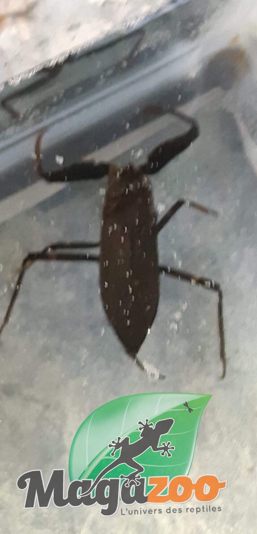 Magazoo Nèpe cendrée (Malaisie)/Nepa cinerea