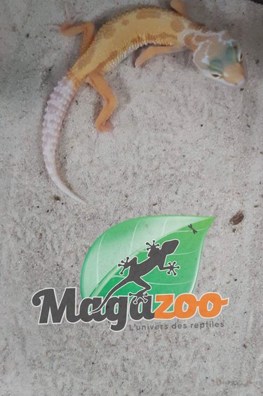 Magazoo Gecko léopard patternless Tremper albino