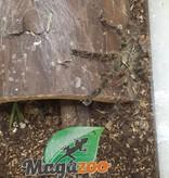 Magazoo Mygale Ornementale Indienne/Poecilotheria ornata