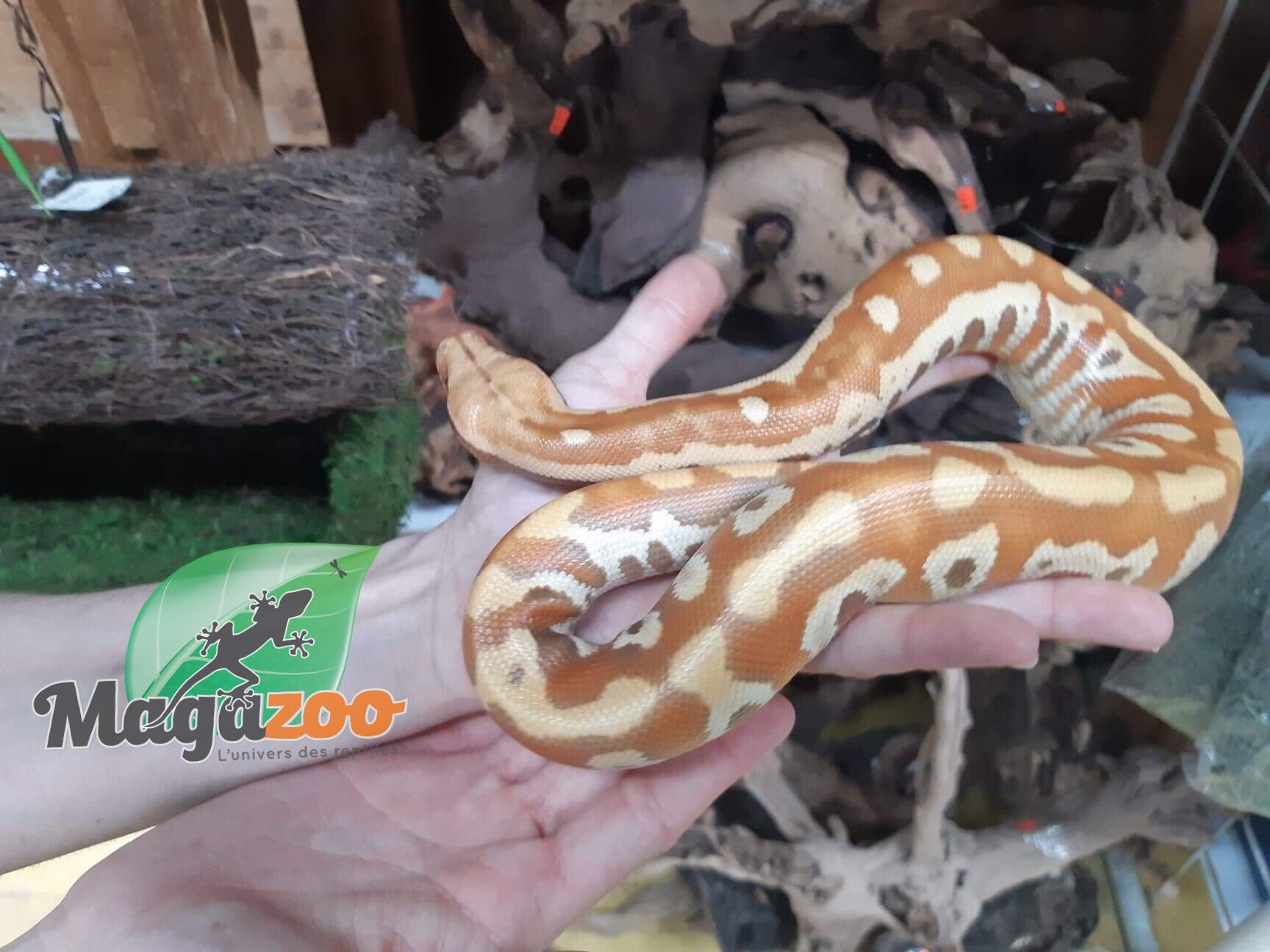 Magazoo Python Malais T+ Mâle
