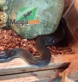 Magazoo Python d'eau australien (Couple adulte)