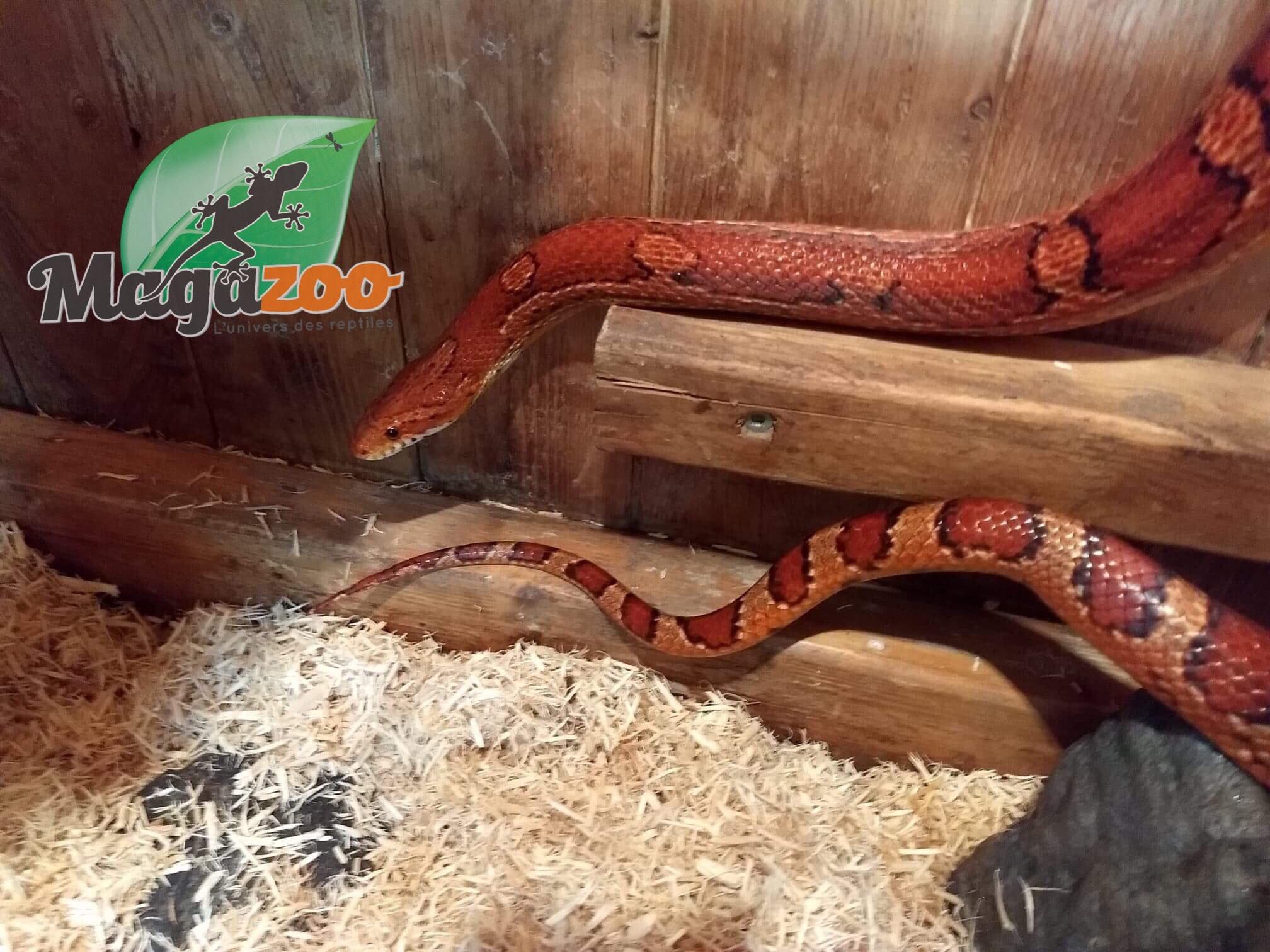 Magazoo Serpent des blés (Mâle adulte) okeetee