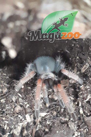 Magazoo Mygale à jambes de feu (bébé 1'')/Brachypelma boehmei