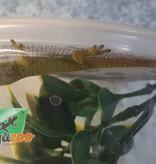 Magazoo Gecko Diurne Géant de Madagascar bébé