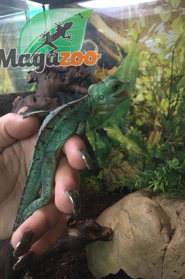Magazoo Basilique vert Mâle