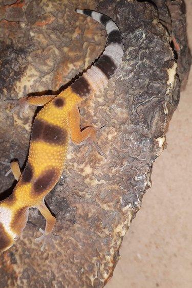 Magazoo Gecko léopard super hypo tangerine enigma (Bébé)