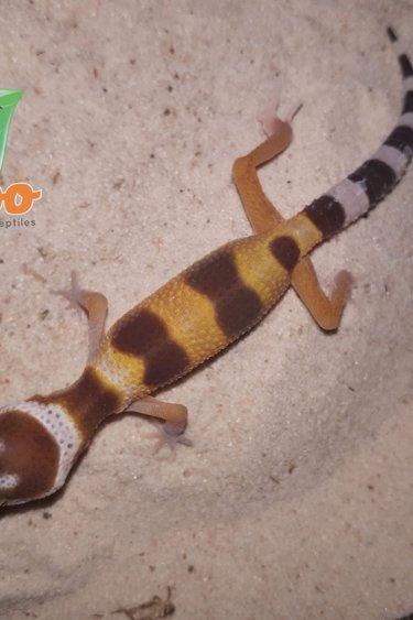 Magazoo Gecko léopard sunglow (Bébé)