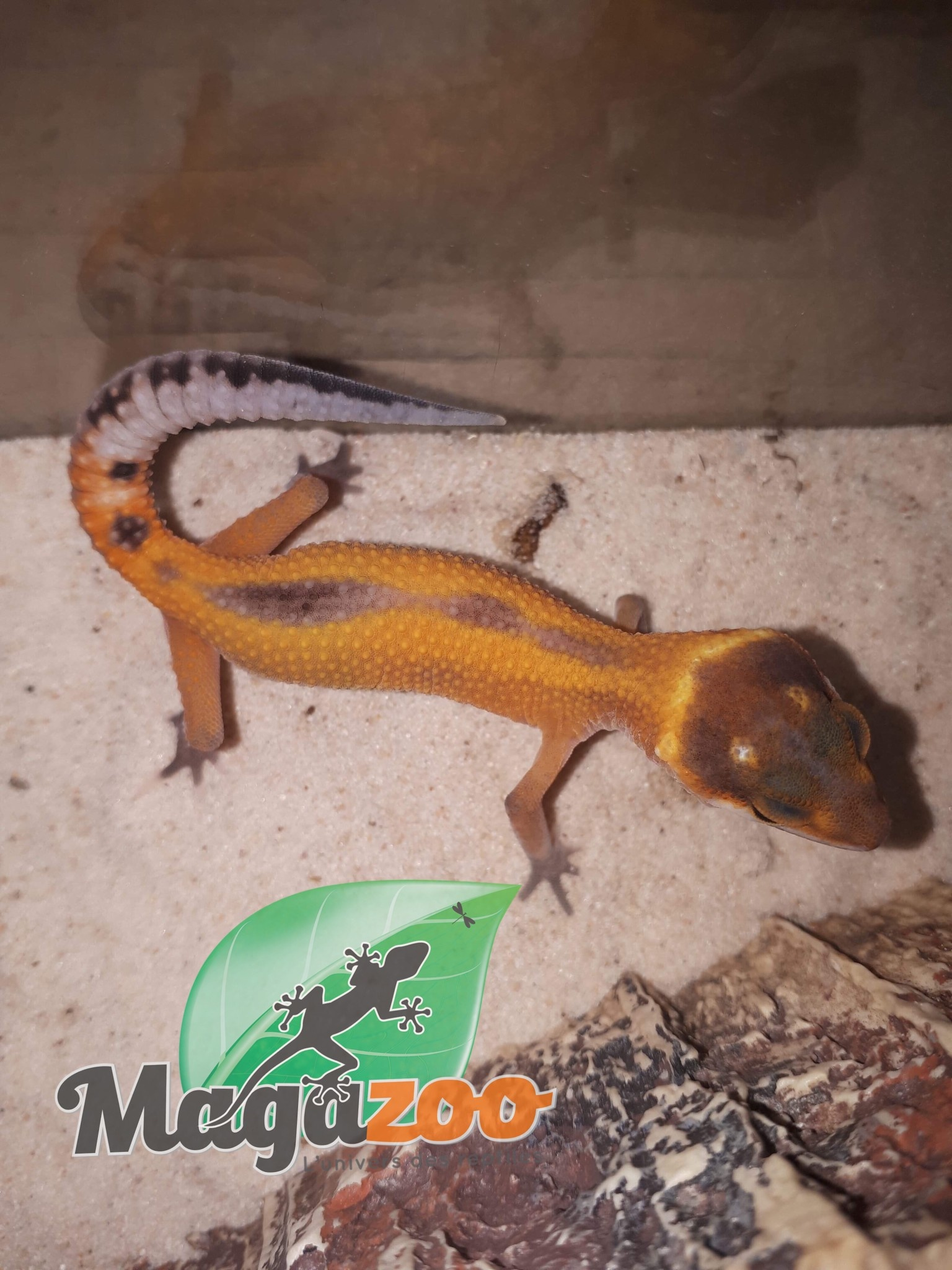 Magazoo Gecko léopard tangerine pinstripe